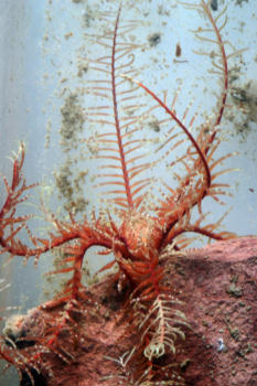 Feather Star (Antedon bifida)