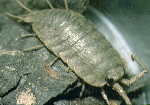isopod essay example Duct tape procedure: isopod tracking chart in  would the movement observed be an example of taxis or kinesis -l believe their  it's time to have that essay.